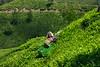 DSC_9178 (Tartarin2009 (travelling)) Tags: tartarin2009 nikon d600 india kerala munnar tea teaplantation teaworker hill outdoor plant travel