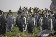 Penguins in snow, Fortuna Bay, South Georgia (HeidiSevestre) Tags: penguins kings fortuna bay south georgia snow group wildlife nature antarctica