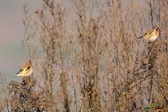 A-LUR_5693 (ornessina) Tags: trasimeno umbria byrd uccelli aironi cormorani toscana va orcia