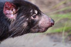 _DSC3915.jpg (David Hamments) Tags: sydney tasmaniandevil tarongazoo ngc
