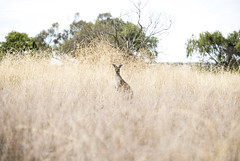 In Australia, we count kangaroos, not sheep ;) (Caramel Kisses Photography) Tags: kangaroo australia nature grass looking field bush animals animal native adelaide southaustralia canon