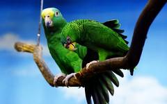 367360.jpg (Vallesty) Tags: bychipvnimageuploader bird parrot animal fauna flora mammal couple