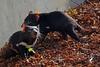 Tasmanian Devils, Copenhagen Zoo (JohntheFinn) Tags: copenhagen kööpenhamina euroopa europe scandinavia skandinaavia pohjoismaat nordic zoo eläintarha tasmaniandevil pussiahma marsupial pussieläin