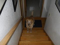 Come On Down (Eclair123) Tags: dog animal femaledog yellowlab pet