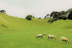 ONE HILL TREE (PINOY PHOTOGRAPHER) Tags: auckland newzealand world amazing popular fabulous interesting canon camera light photography picture color cornwall park one tree hill sheep animal grassland