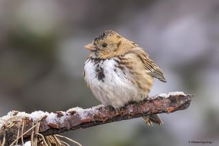 Harris's Sparrow | Bruant à face noire