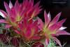 Eriosyce senilis 'Multicolor' (l.e.violett) Tags: cactus flowers cultivated eriosyce senilis multicolor arizona pse macro