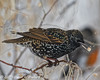 Starling With Russian Olive (dcstep) Tags: aurora colorado unitedstates us n7a6040dxo cherrycreekstatepark canon5dmkiv ef500mmf4lisii nature urban urbannature snow snowing cold allrightsreserved copyright2017davidcstephens dxoopticspro1131 olive russian russianolive starling europeanstarling
