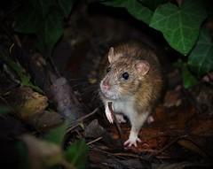 Rat (andrewbennett1975) Tags: rat outdoors rodent