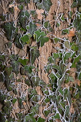 Frosted ivy.