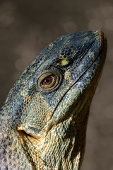 Rock Monitor (FocusPocus Photography) Tags: kapwaran rockmonitor echse lizard monitor waran tier animal varanusalbigularis reptilium landau reptil reptile