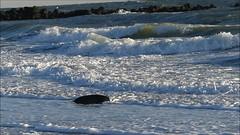 ice-cold (BrigitteE1) Tags: icecold seal wave cold helgoland heligoland deutschland germany wind wellen kalt eiskalt blau weis blue white strand beach helgolanddüne robbe jungerobbe youngseal spiel fun playing insel island nordsee northsea germansea
