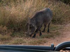 L1010437 (mylesm00re) Tags: africa limpopo phacochoerusafricanus vlakvark welgevondengamereserve za commonwarthog southafrica