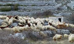 décor d'hier, moutons d'aujourd'hui (b.four) Tags: mouton pecora sheep terrazza terrace terrasse restanque saintbarnabé alpesmaritimes h long horns ruby5