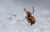 Yay, it snowed!! (markhortonphotography) Tags: leaflitterbugs winter globularspringtail nature frost snow deepcut surrey springtail wildlife frozen thatmacroguy cold ice collembola dicyrtominasaundersi macro markhortonphotography globby surreyheath invertebrate