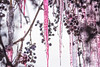 Time to make the ice wine! (jklaroche) Tags: grapes icicles