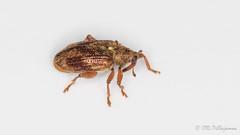 Orchestes testaceus (Olli_Pihlajamaa) Tags: animalia arthropoda coleoptera cucujiformia curculionidae curculioninae curculionoidea hexapoda insecta invertebrata orchestes orchestestestaceus polyphaga eläinkunta erilaisruokaiset hyönteiset kovakuoriaiset kuusijalkaiset kärsäkkäät kärsäkäsmäiset lepänhyppykärsäkäs niveljalkaiset selkärangattomat