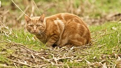Naughty boy - in WWT Barnes without his membership card (Ratsiola) Tags: cats catshuntingbirds london centre gingertom wetlandscentre wwtbarnes felines