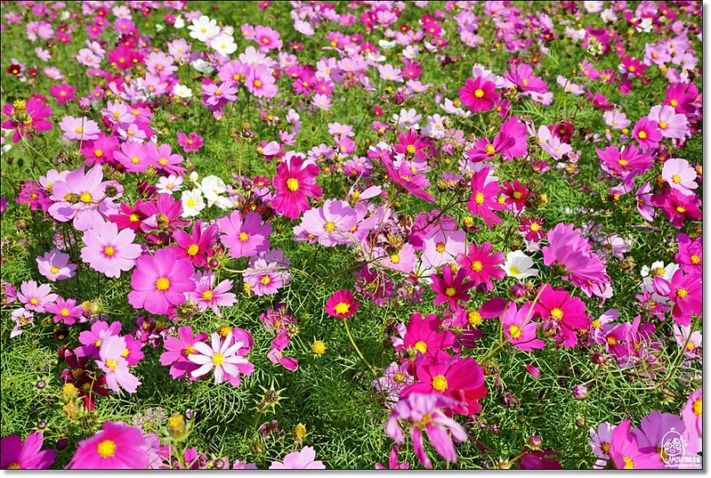 32233397455 3700160c48 c - 『台中。后里』 泰安落羽松林秘境-泰安國小旁/泰安櫻花派出所/冬日限定的那一季松紅。