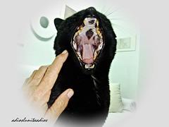 El gran bostezo de Luky . 2017 061 (adioslunitaadios) Tags: 2017 gato gatonegro gatocomún mascota mamífero fujifilm macro