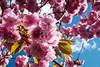 H501_0477 (bandashing) Tags: pink cherryblossom park trees flower leaf bluesky spring tree sylhet manchester england bangladesh bandashing aoa socialdocumentary akhtarowaisahmed