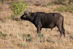 Have buffalo, will travel (mirsasha) Tags: january kenya africanbuffalo 2017 masaimara narokcounty ke
