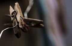 Coreidae no  Prendedor (MiGuel Angelo F. Jr.) Tags: coreidae prendedor grampo varal foto percevejo chinche bug