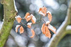 Leaf w/ snow and bokeh (PaulHoo) Tags: hilverbeek spanderswoud s gravenland holland netherlands winter landscape nature 2017 snow bokeh detail macro leaf forest woods tree dof