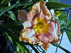 Betty in the morning (MissyPenny) Tags: usa plant flower yellow garden pennsylvania daylily bristolpennsylvania ladybettyfretz
