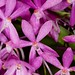 Ascofinetia Cherry Blossom Carmela – Renate Schmidt