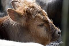 Heckrind (Kalb) (catnip254) Tags: zoo rind cattle tierpark kalb neuruppin auerochse heckrind heckcattle tierparkkunsterspring