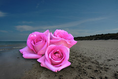 Curracloe Roses, Curracloe (Bill Reddy) Tags: composite photoshop curracloe