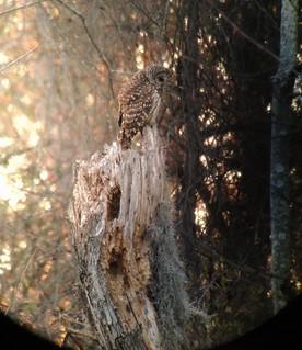 iPhonescoped Barred Owl [Explored]