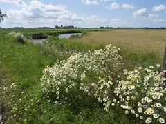 Zomer in Groningen (2) (Jeroen Hillenga) Tags: netherlands landscape zomer groningen kamille landschap westerkwartier
