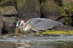 SPEARED (Explore) (DODO 1959) Tags: fish nature birds wales canon wildlife llanelli avian wwt speared rudd greyheron 1dmk4 500mmf4isllens