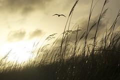 (2lu22lu2) Tags: sunset seagull beachsunset seagrass seabird oceansunset oakisland oakislandnc