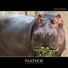 PLATSCH (Matthias Besant) Tags: africa animal animals closeup mammal deutschland zoo tiere skin african background struktur structure afrika hippo hippopotamus mammals pferde pferd hippos nahaufnahme tier paarhufer hintergrund haut nilpferde nilpferd hippopotamuses dermis flusspferd tierreich hippopotamusamphibius amphibius eventoedungulates animality eventoedungulate artiodactyla afrikanischer querformat saeugetier saeugetiere hippopotamidae afrikanisch afrikanisches afrikanische flusspferde laurasiatheria grossflusspferd grossflusspferde matthiasbesant