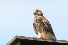 DSC_0266 Torenvalk : Faucon crecerelle : Falco tinnunculus : Turmfalke : Common Kestrel