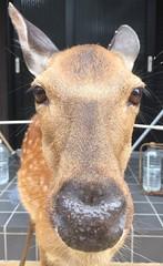Hello (JSterckman) Tags: animal japan island nose vacances holidays ile deer miyajima nez japon daim museau