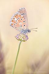 FP2016__16_7826S2M.jpg (Fernando.P.Photo) Tags: insecte macro nature papillon proxy