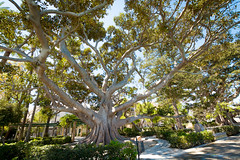 Cadiz (Cádiz), Spain (Ravinson's Photography) Tags: tree branches hugetree bigtree treewithlotofbranches leaves