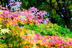 七色な楓@福壽山農場 (SU QING YUAN) Tags: maple autumn fall color colors red orange green tree trees leaves forest forests beauty beautiful pretty a55 zeiss 1680za variosonnartdt35451680