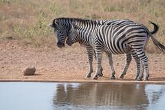 DSC_5153 (mylesm00re) Tags: africa burchellszebra equusquaggaburchellii limpopo welgevondengamereserve za mhondorogamelodge sebra southafrica waterhole zebra