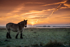 The horse with his boots (marielledevalk) Tags: sunrise field country landscape horse animal sun sky clouds mist fog holland dutch netherlands biesbosch