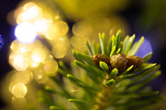 Living Christmas (explored 11/12/2016) (lacygentlywaftingcurtains) Tags: christmastree 2016 xmastree pine winter holiday green needles closeup decorations macro macromondays itsalive buds pinecones bokeh sparkly blue gold branch