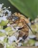 Apidae>> Apinae>> Meliponini>> Melipona (Julio Pupim) Tags: meliponini melipona macrofotografia amazônia agrotóxicomata agriculturafamiliar agriculturasintrópica polinização polém simbiose stinglessbees abelhasemferrão abelhanativa bees riobrancoac nectario juliopupim bug