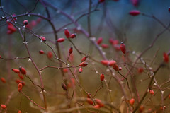 Winter Rosehips (paulinuk99999 (really busy at present)) Tags: paulinuk99999 winter 2016 berries rose hip collegelake trring sal135f18za