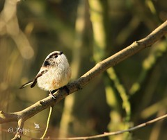 Things are looking up! (~ **Barbara ** ~) Tags: tits bluetit longtailedtit birds wildlife wildbirds avian tiny small trees branches sunny sigma150500 canon7dii winterwatch