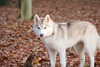Kala (Linzse) Tags: siberian husky huskies huskie dog pup puppy puppies pups dirty dig digging forest leaf leaves outside fall denmark danish grass green kida kala