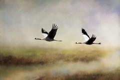 Grus grus arrive!!! (BirgittaSjostedt.-computer problem again.) Tags: grusgrus crane bird light wings texture background sky clouds grass nature spring birgittasjostedt outdoor animal magicunicornverybest